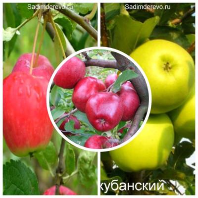 Яблоня - комплект из 3-х сортов: Яблоня Кариот 7 > Яблоня Райка > Яблоня Ренет кубанский