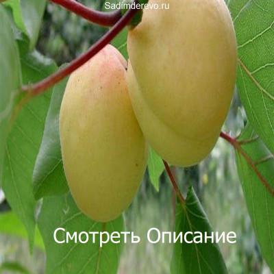 Абрикос Ананасный (Шалах)