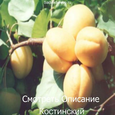 Абрикос Костинский
