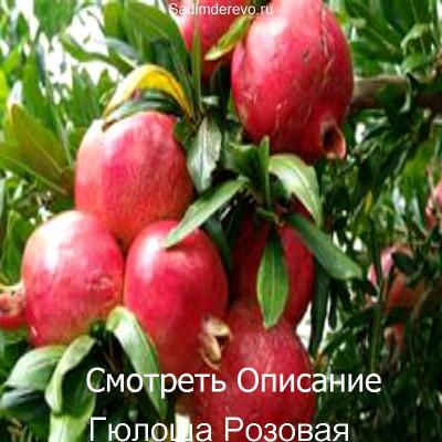 Гранат Гюлоша Розовая