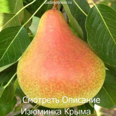 Груша Изюминка Крыма