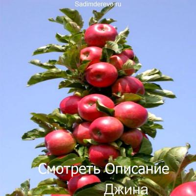 Колоновидная Яблоня Джина