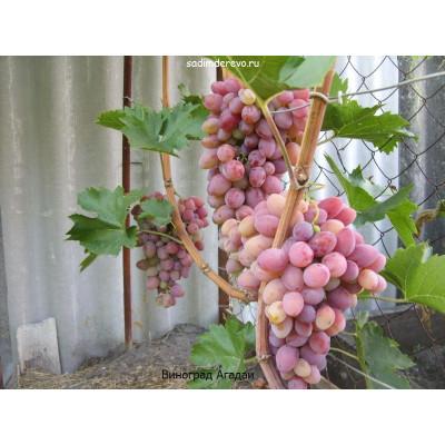 Виноград ЗОС-1