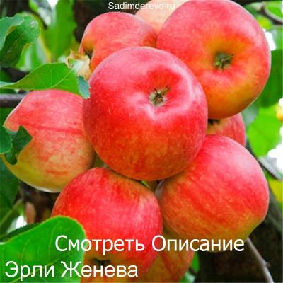 Яблоня Эрли Женева