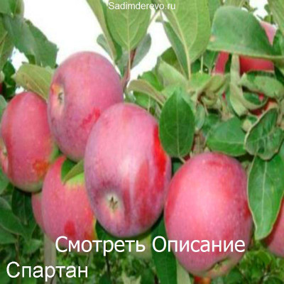 Яблоня Спартан